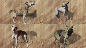 """Canarie, la versione dei cacciatori: """"I cani di La Palma sono salvi"""""""
