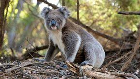 Emergenza clima in Australia: in tre anni la popolazione dei koala è scesa del 30 per cento