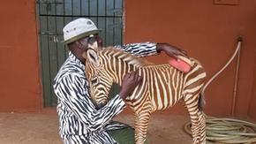 Baby zebra viene accudita da custodi con il camice a strisce come il manto della mamma