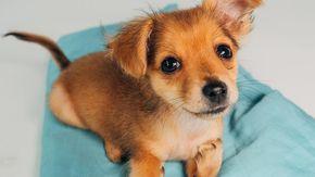 Mini cane stava per essere soppresso a causa delle sue zampe malformate: così non poteva essere venduto