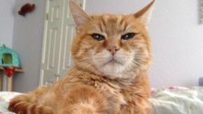 """Ecco Pumpkin, il gatto abbandonato dai proprietari dopo 18 anni perché """"perde troppi peli"""""""