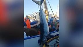 Seized Mako shark, it was offered for sale in Catania as a swordfish