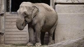 Coronavirus, the Brazil-Argentina border reopens for the journey to freedom of the elephant Mara