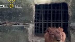 La triste storia di Ombre - un leone, trasformato in pelle e ossa, in uno zoo nigeriano