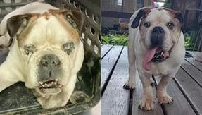 The transformation of Rocko, the bulldog dog left to neglect by his family