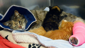 Mother cat with broken paw rescued while breastfeeding her three kittens