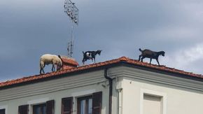 Due capre e una pecora al pascolo sui tetti nel centro di Beinette