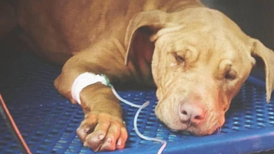 E' morto Tyrion, il cane salvato da tre minorenni che lo volevano impiccare alla stazione di Gela