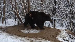 In un video gli effetti di anni di prigionia in uno zoo: la commovente storia dell'orso Ina
