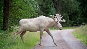 Anger in Canada, a white moose sacred to local natives was killed