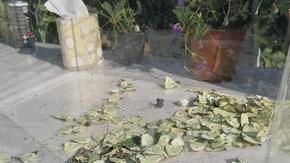 Massacre of butterflies at the flower show in Florence: in a display case under the sun they are all dead