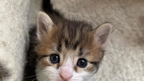 Cat born with two undeveloped legs learned to walk thanks to his mother