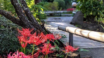 Giappone, i fiori del nirvana dell'equinozio d'autunno