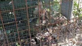 Un cucciolo di volpe usato come esca muore in una gabbia,
