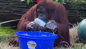 The truth about the video of the orangutan Sandra who washes his hands (not for the coronavirus)
