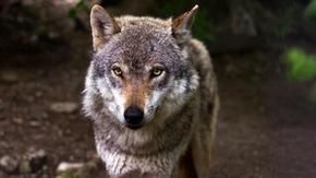 Court of Justice EU: the wolf is protected by community rules also in urban centers