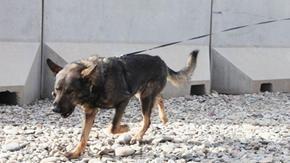 Afghanistan, animalisti contro Biden: hanno abbandonato i cani soldato. Il Pentagono smentisce