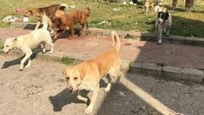 Stray in Sicily: a pack of dogs dominates in Noto, a municipal manager investigated