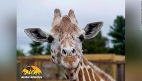 Addio aprile, la giraffa dello zoo si è trasformata in una star mostrando la gravidanza e il parto online