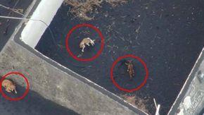 Il disperato salvataggio dei cani intrappolati a La Palma, circondati dalla lava e nutriti con i droni