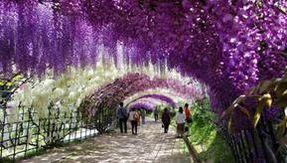 Le tunnel le plus romantique au monde est situé au Japon et est recouvert de glycine
