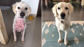 Trovano e salvano un cane in pessime condizioni, solo dopo capiscono che è un Golden Retriever