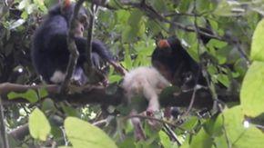 Il primo scimpanzé albino avvistato in natura è stato brutalmente ucciso dal suo branco
