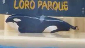 """Orca in cattività rimane fuori dalla vasca, gli animalisti: """"Ha tentato il suicidio"""""""