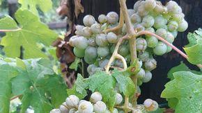 """La grandinata ha devastato le vigne dell'Ossola: """"Persa metà produzione dell'uva per il Prünent"""""""