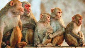 India, 60 scimmie trovate chiuse in sacchi, la metà morte avvelenate e picchiate: orribile scoperta avvenuta in Karnataka