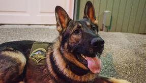 Arlo, cane poliziotto ferito da arma da fuoco, torna a casa e raccoglie oltre $ 73.000 online per salvargli la vita