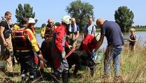 In Holland a cow is overwhelmed by the waters of the Meuse, found alive 100 kilometers away