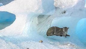 La sorpresa in Patagonia: c'è un puma su un iceberg alla deriva