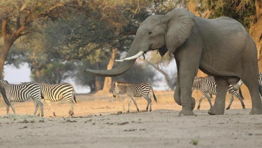Il Covid-19 fa crollare il turismo in Zimbabwe, il governo autorizza le licenze per uccidere 500 elefanti