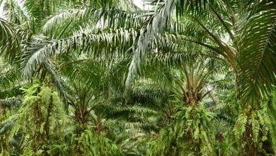 Violenze e sfruttamento per l'olio di palma durante il picco dell'emergenza Ebola