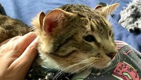 The happy ending story of Aslan, the cat born with four ears