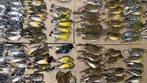 Centinaia di uccelli migratori muoiono schiantandosi contro i grattacieli di New York, ecco che cosa è successo
