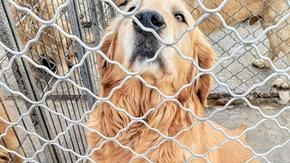 A plane to save 99 Golden Retrievers from the Chinese dog meat trade