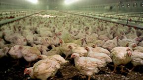 Già in circolazione dagli allevamenti di polli otto ceppi di aviaria più pericolosi del Covid