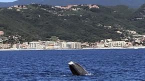 The whale Codamozza arrived in front of Liguria: sighted off Finale, in the Savonese area