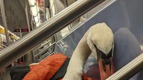 Un cigno nella metropolitana che ha bisogno di aiuto: è stato avvelenato con il piombo
