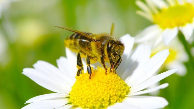 Puntura di ape: riconoscere una reazione allergica - La Stampa