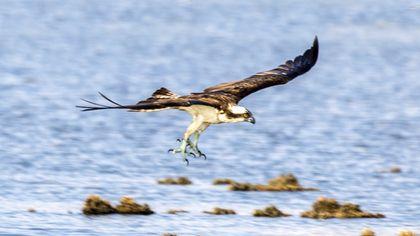 Litorale Domitio, il volo del falco pescatore: pit-stop sulla foce del Volturno