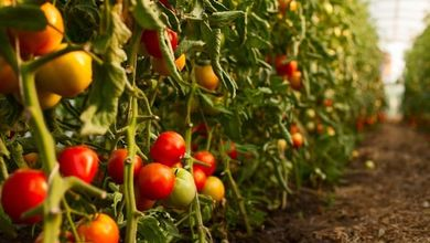 I pomodori cinesi raccolti schiavizzando gli uiguri arrivano anche in Italia