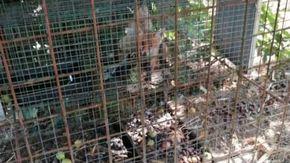 """Cucciolo di volpe usato come esca muore in gabbia, """"Volevano attirare la madre dell'animale"""""""