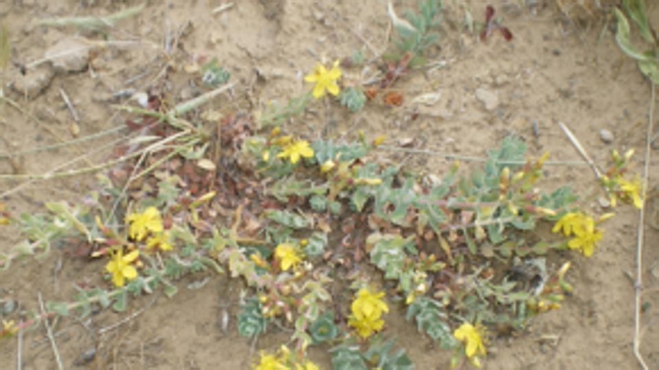 Fiori Gialli In Sardegna.Hypericum La Pianta Che Impedisce Al Virus Hiv Di Replicarsi