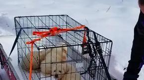 Coppia in motoslitta salva tre cuccioli di cane nascosti dentro la carcassa di una pecora