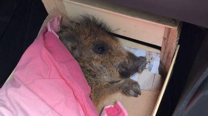 Salvato il cucciolo di cinghiale incastrato al Sacro Monte di Varese: e il gruppo Fb cittadino lo adotta