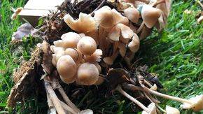 La Mostra del Fungo di Ceva più forte della siccità