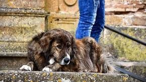 Farewell to Tigaro, Piazza Armerina's mascot dog and friend of all